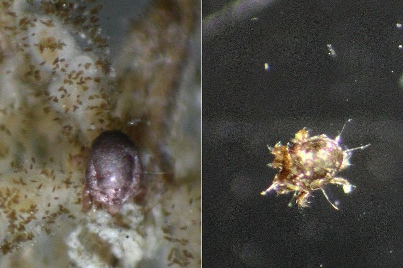 Halacaridae