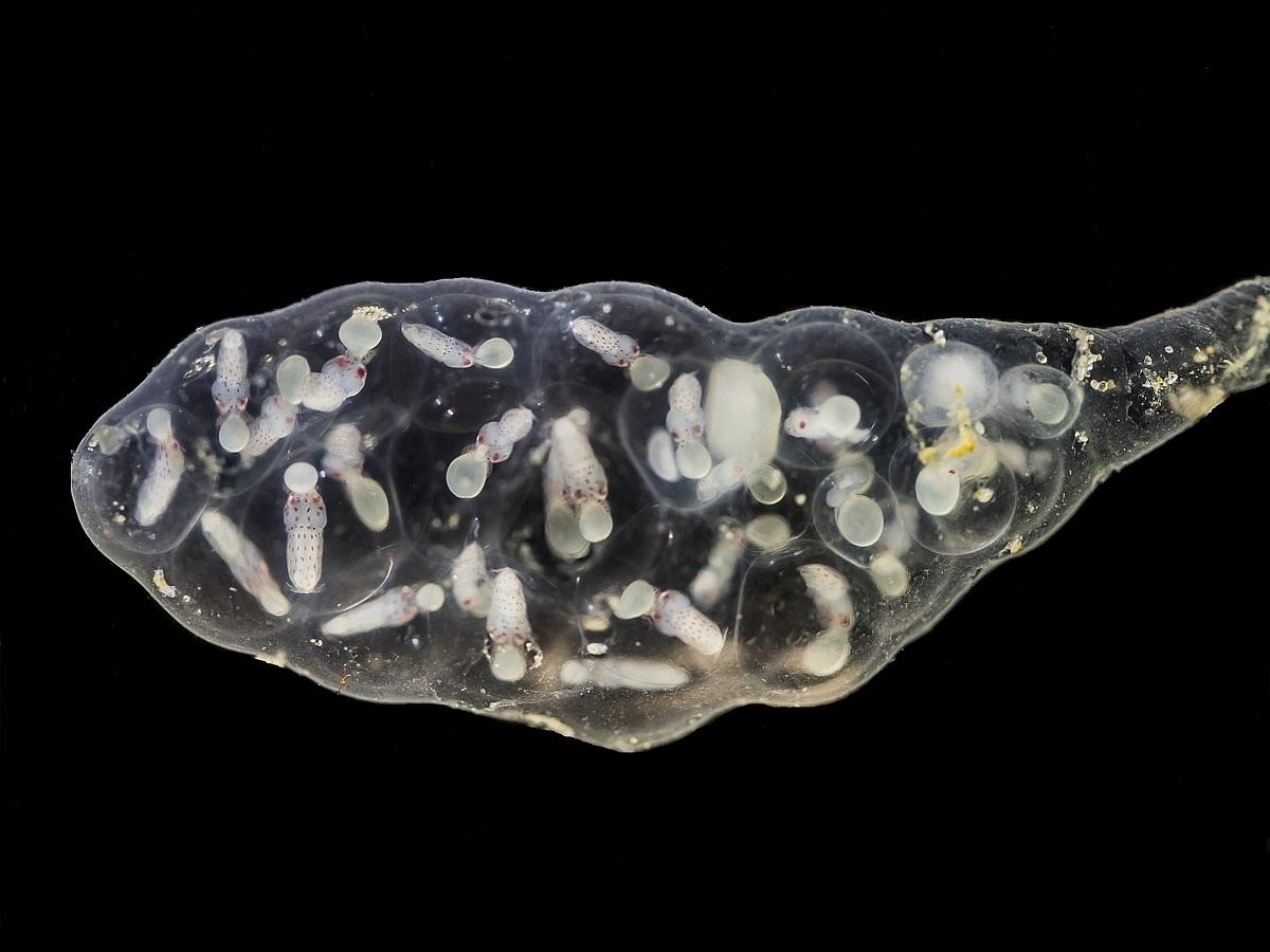 Dwergpijlinktvis
